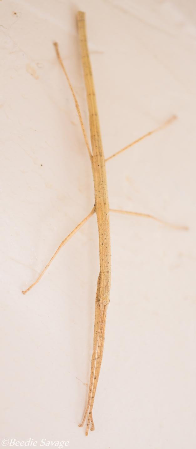 Stick Bug (Phasmatodea)
