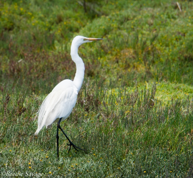 Great Egret-04213