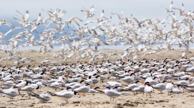 Elegant and Royal Terns