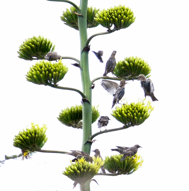 European Starlings on Century Plant