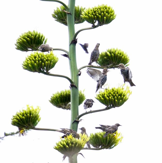 European Starlings on Century Plant