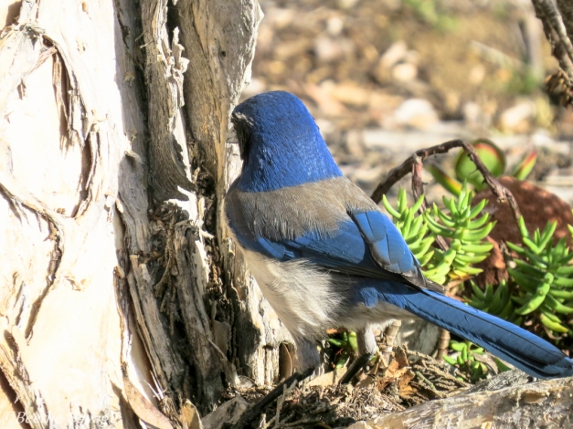 Scrub Jay (back side)