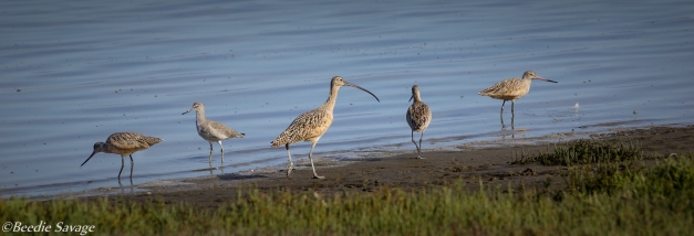 Marbled Godwit, Willet and Long-billed Curlew