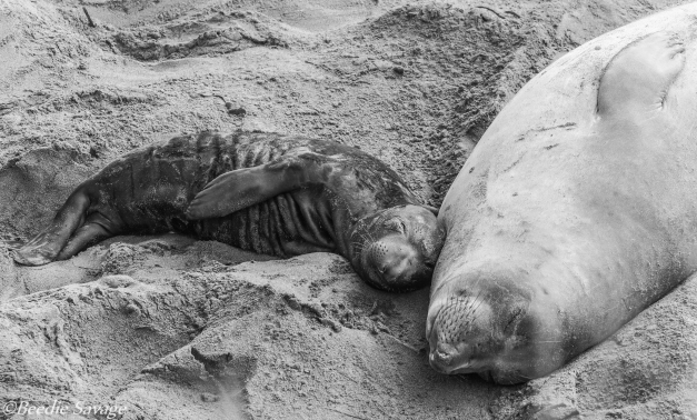 Elephant Seal Mom and newborn calf enjoy a nap together on Elephant Seal Beach, a protected sanctuary for elephant seals off the Pacific Coast.