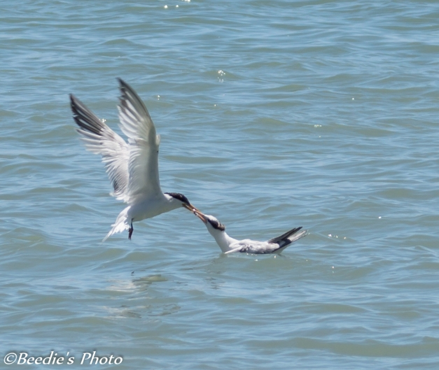 Adult Elegant Tern Feeding on Water
