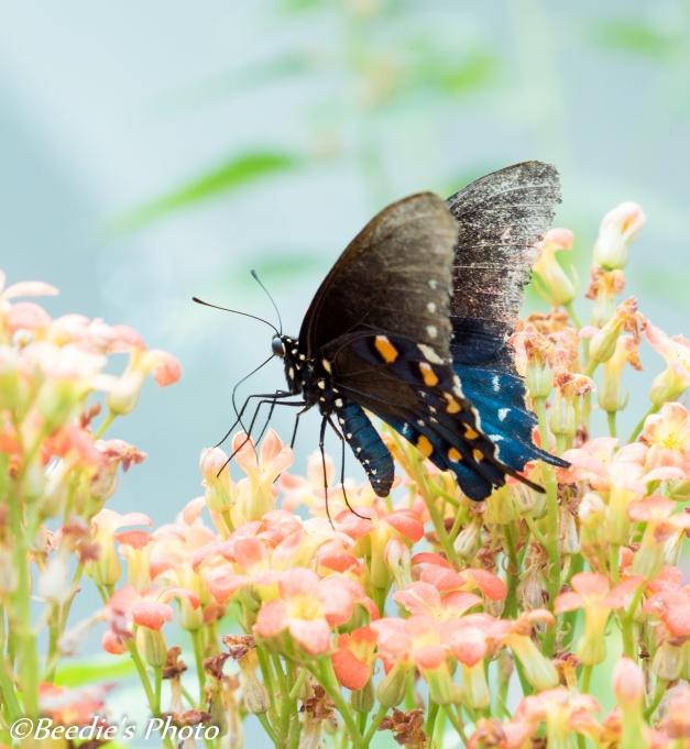Black Swallowtail -Papilio glaucas