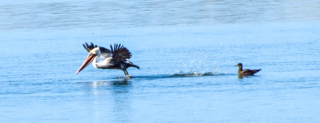 Brown Pelicans leaving a Heerman's Gull behind
