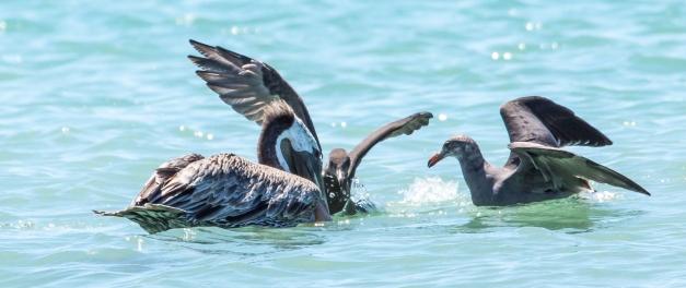 Heerman's Gulls attack Brown Pelican
