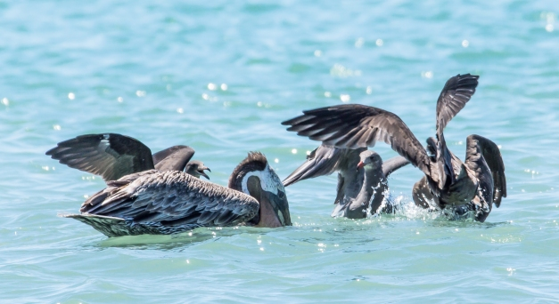 Heerman's Gulls attack Brown Pelican