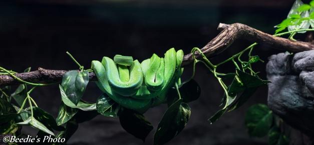 Rainforest Viper