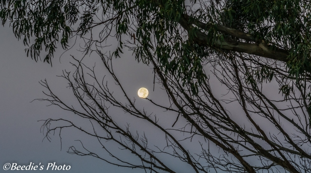 Full Moon Resting on a Eucalyptus Branch