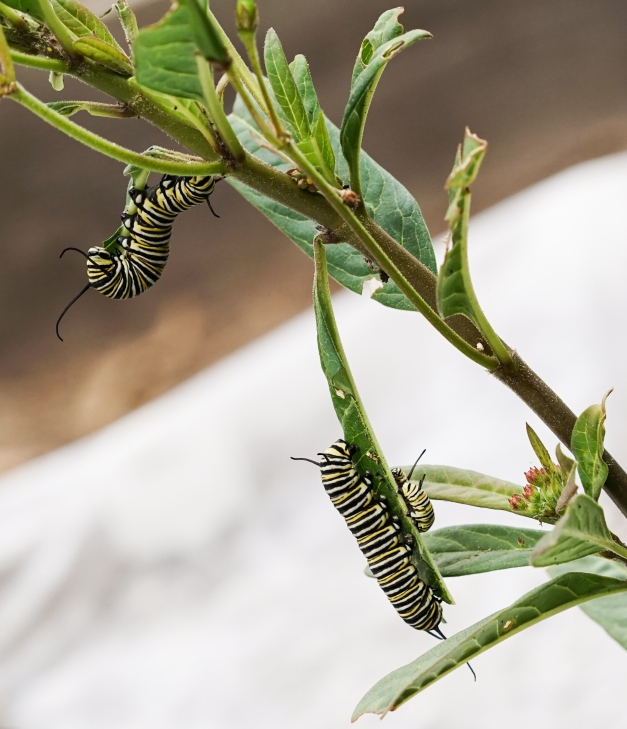 Monarch Caterpiller