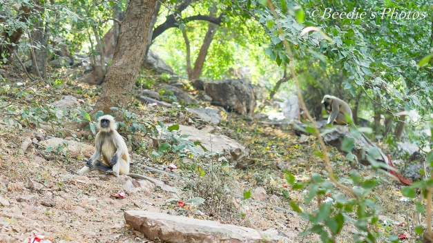 Gray Langur - Old World Monkey