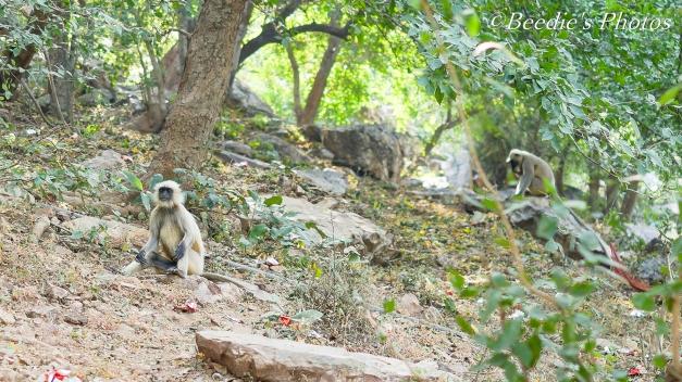 Gray Langur - Old World Monkey